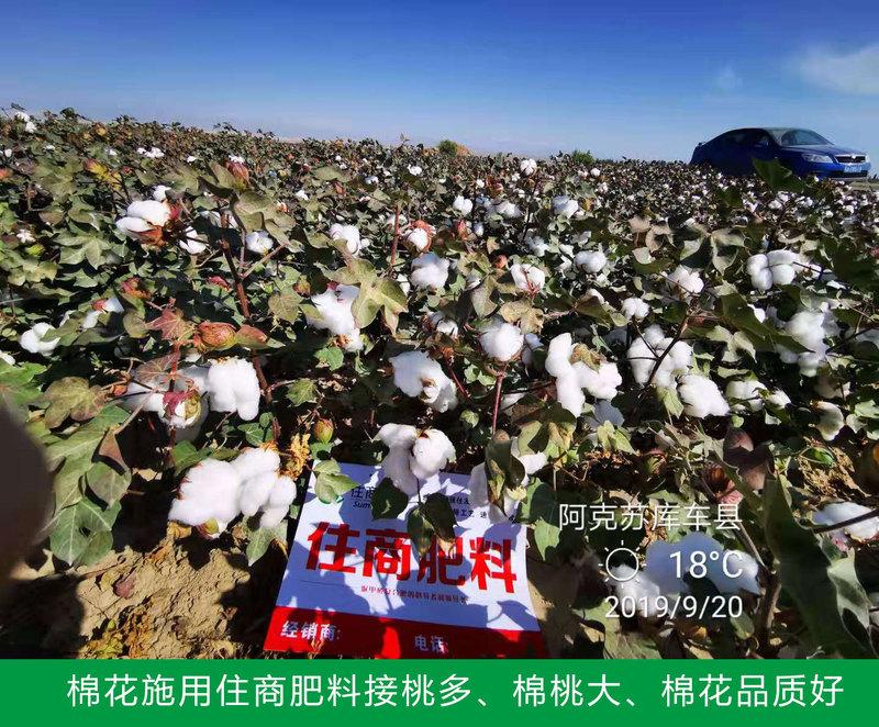 棉花施用住商肥料接桃多、棉桃大、棉花品质好.jpg